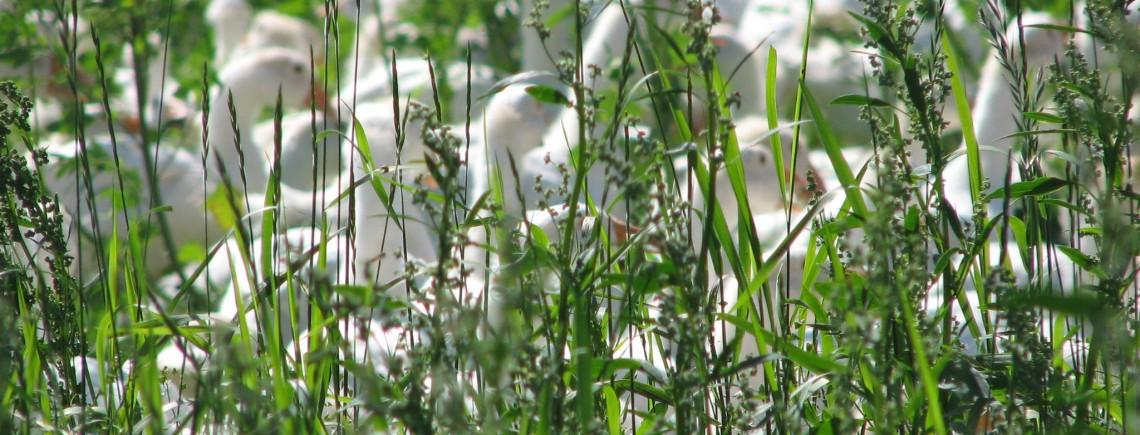 Enten im Gras